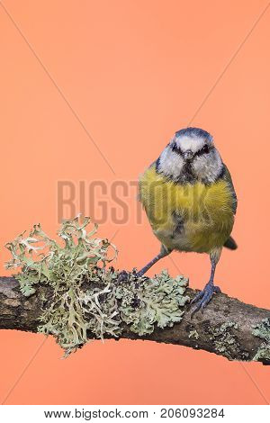 Single Colorful Bluetit On Branch With Lichen