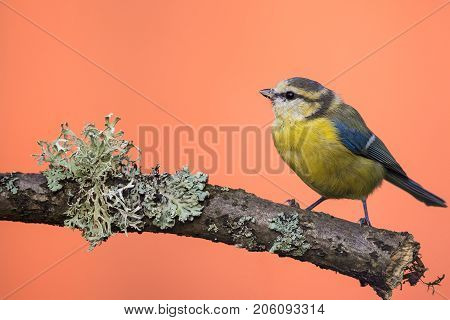 Single Colorful Blue-tit On Branch With Lichen