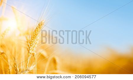 Image of ripe wheat spikes