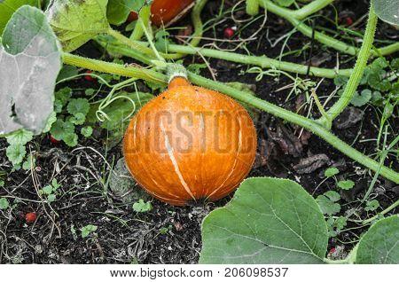 Pumpkin growing on vegetable bed in garden