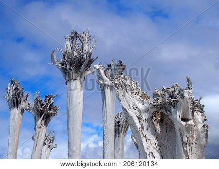 dead white bleached trees in a group against a blue sky