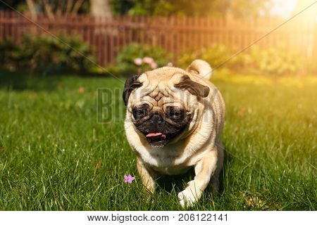 the pug dog is running through the green grass