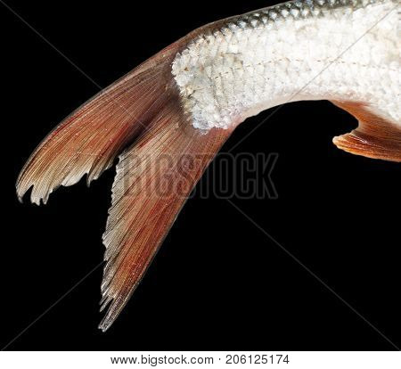 fish tail on a black background . Photos in the studio
