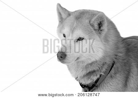 Portrait of Husky isolated. Workers siberian dog huskies of the North. Sports laika - hardy and courageous.