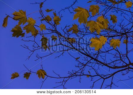 Bare autumn branches of maple tree with dry leaves on the background of sky at dusk