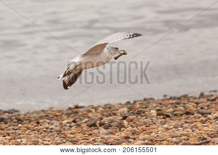 Seagull Flying With Chicken Bone
