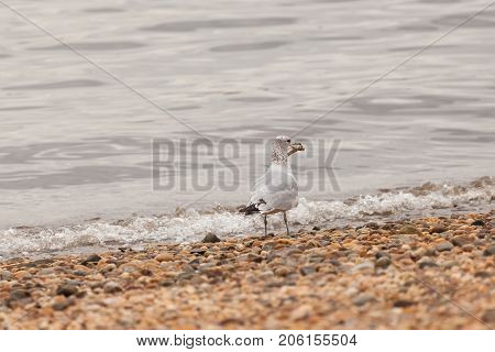 Seagull Standing On Shore With Chicken Bone