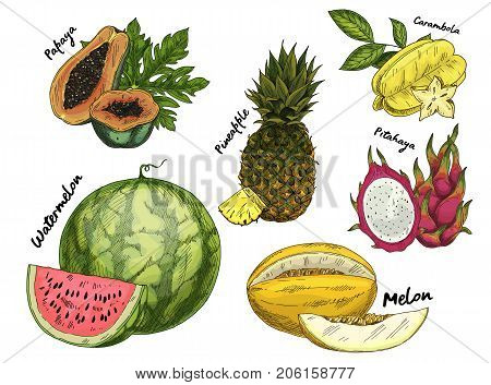 Sketched exotic and tropical fruits. Set of isolated papaya or papaw, pawpaw and pineapple, pine or ananas, pitaya or pitahaya, dragon fruit and melon, watermelon. Food and agriculture theme