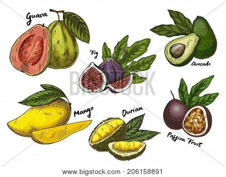 Set of isolated sketches of tropical fruits like common fig and guava, avocado or alligator pear, mango and durian or durio, drupe and passion fruit or maracuya. Nutrition and food, agriculture theme