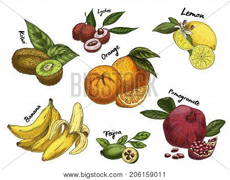 Sketch of fruits. Ripe kiwi and fresh orange, lychee or litchi, isolated lemon and natural pomegranate, feijoa or pineapple guava, guavasteen. Vegetarian food or nutrition, garden theme