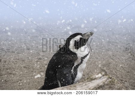 African penguin ( Spheniscus demersus) also known as the jackass penguin and black-footed penguin in the snow