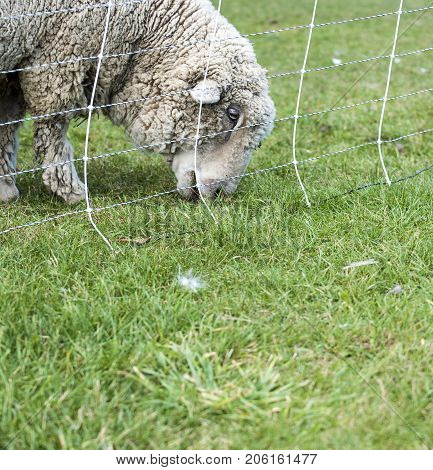 Woolly sheep munching steadily on grassy field