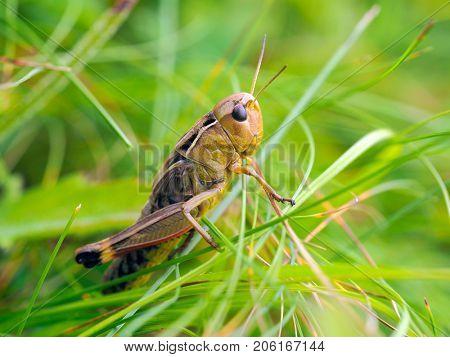 grasshopper (locusta viridissima) in natural habitat in summer