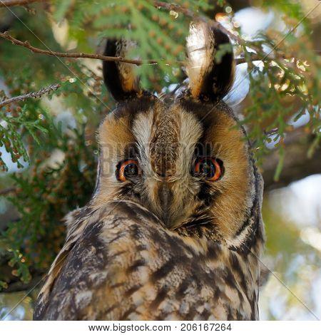 long-eared owl (Asio otus) in the tree