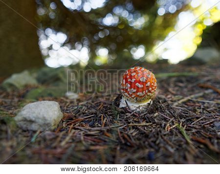 Small toadstool Amanita muscaria commonly known as the fly agaric or fly amanita