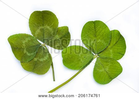 Horizontal closeup photo of two separate green four leaf clovers on a bright white background