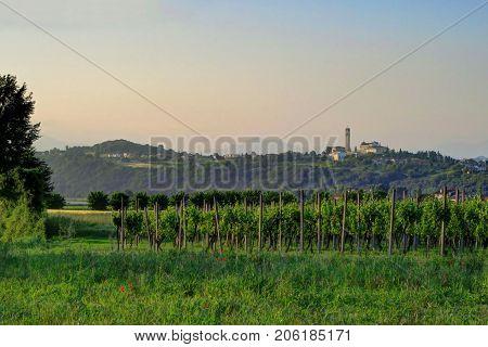 Wine grapes grow at a vineyard outside of Mantua Italy at dusk.