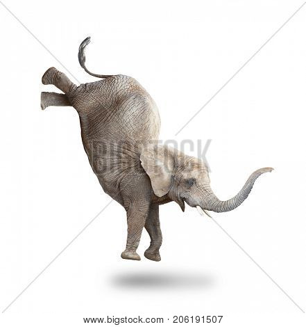 African elephant - Loxodonta africana female jumping. Animals isolated on white background.