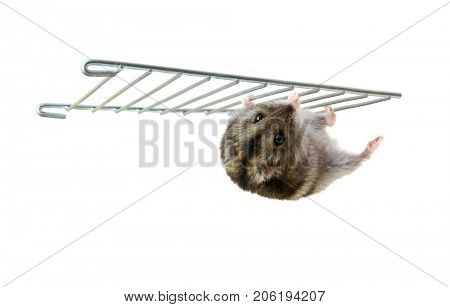 Dwarf hamster isolated on white