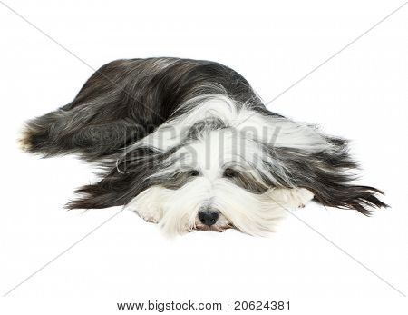 Sheepdog in front of a white background poster