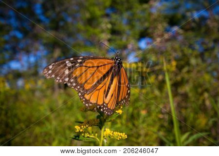 Detail of monarch butterfly (Danaus plexippus) before migrating in Rondeau provincial park, southwestern Ontario