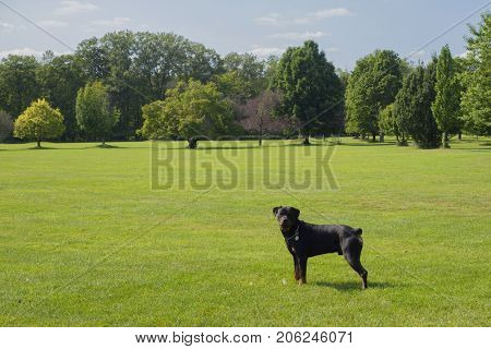Portrait of young adult rottweiler dog standing on green grass in park