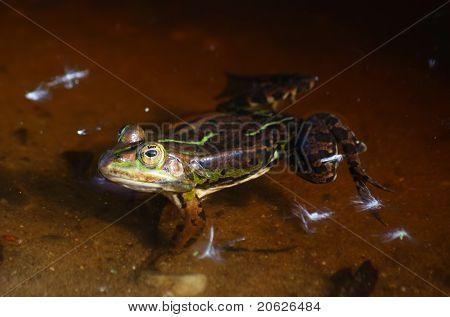 Frog - Hyla arborea