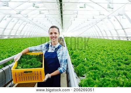 Successful young agro-engineer woth box of fresh lettuce preparing it for market sale