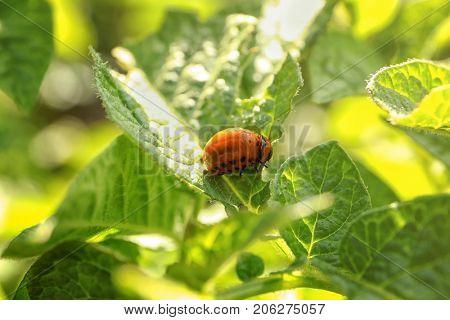 Larva of Colorado beetle on potato plant
