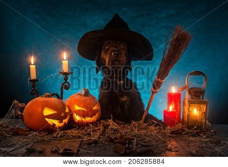 Black dog with Halloween pumpkins on wooden planks. Cemetery grave stones on background