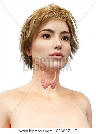 3d rendered medically accurate illustration of the thyroid gland