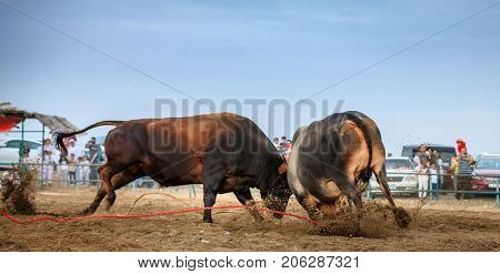 Bulls are fighting in a traditional competition in Fujairah, UAE