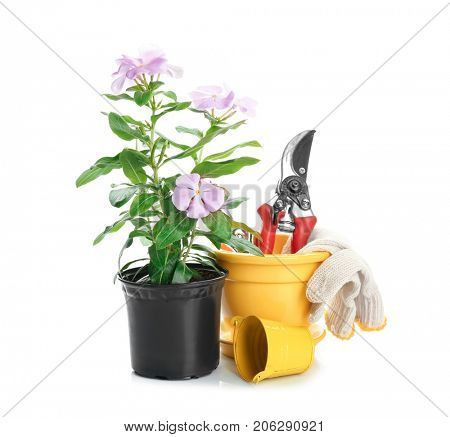 Composition with blooming houseplant and gardening tools on white background