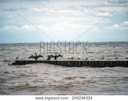 Seagulls and black-faced cormorants drying wings on wooden water breakers by the Baltic sea