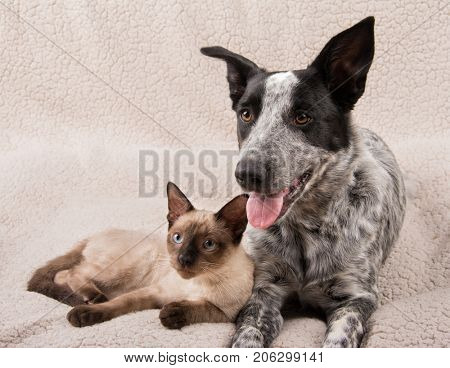 Adorable young dog and cat lying snuggled up on a soft fleece blanket, looking to the left of the viewer