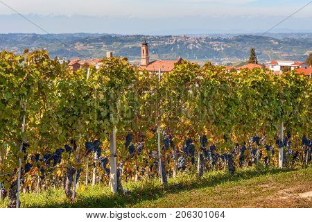 Autumnal vineyards with ripe grapes and small town on background in Piedmont, Northern Italy.