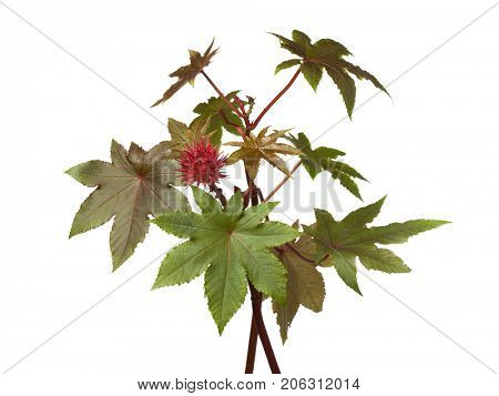 Castor oil plant and seed on white background