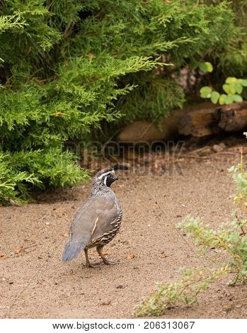 male California Quail in search of food