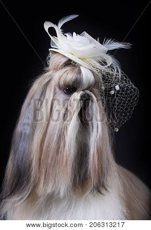 shih tzu dog in a lady's hat