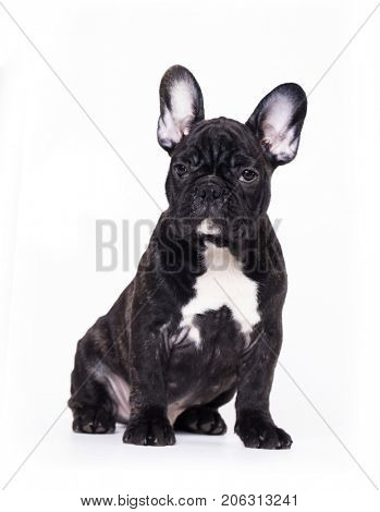 french Bulldog puppy in front of a white background looking at the camera
