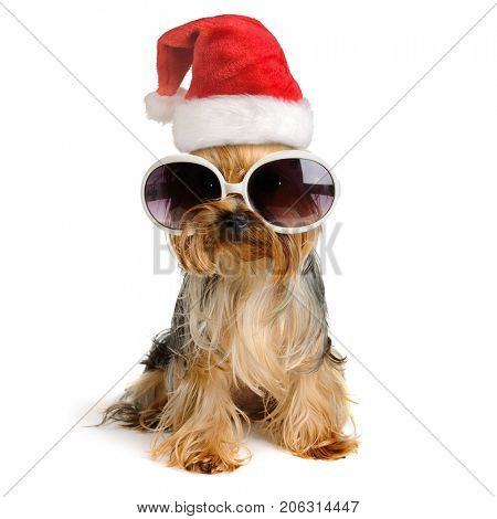 yorkshire terrier dog in the santa hat isolated on white,Merry Christmas and Happy New Year