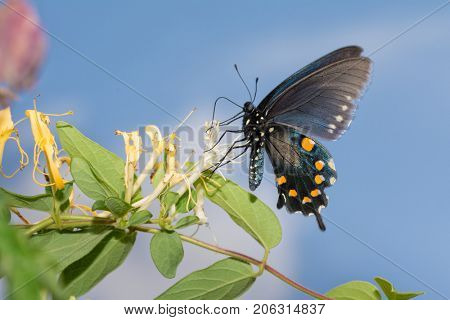 Pipevine Swallowtail butterfly feeding on a Japanese Honeysuckle flower with blue sky background