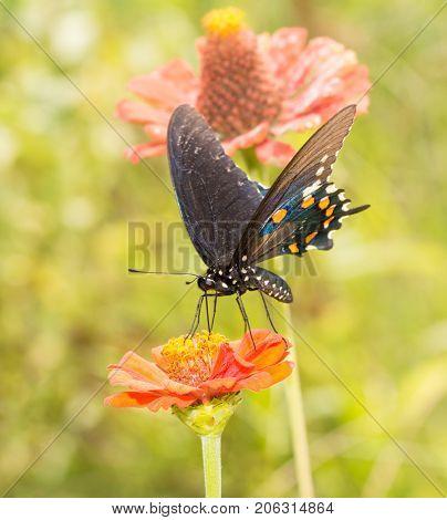 Pipevine Swallowtail butterfly feeding on an orange Zinnia in summer garden