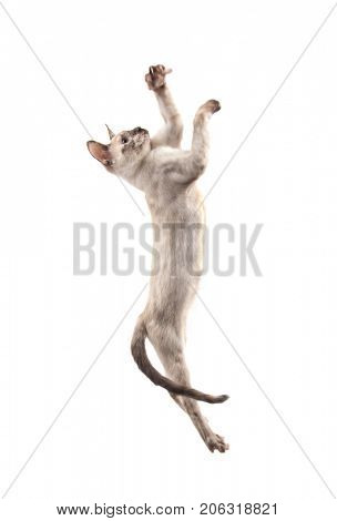 Siamese kitten leaping up high swatting with her paws, on white