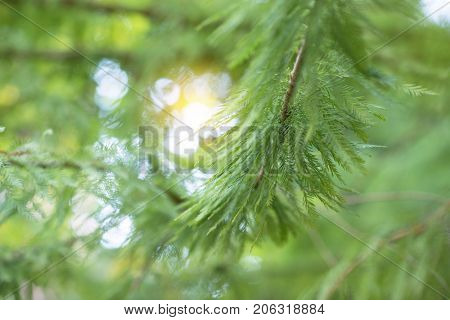 Beautiful background with branch of evergreen, boke and sunlight. Beauty in nature, soft focus.