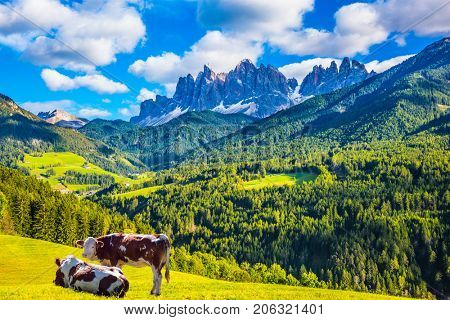 Warm autumn in the Dolomites, the Val de Funes. The concept of ecological tourism. Well-fed cows graze on the green meadows. The valley is surrounded by a dentate wall of dolomite rocks