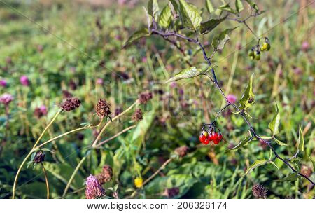 Closeup of various flowering and overblown wild plants growing on the of a Dutch embankment in the fall season. In the foreground the poisenous red berries of bittersweet nightshade or Solanum dulcamara.