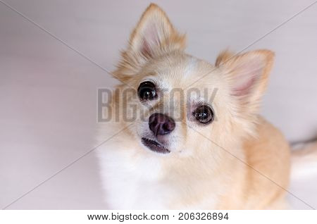 Chihuahua looking like use the eye appeal to his owner .it is a tidy dog sitting on the ground. Selective focus on eye dog.