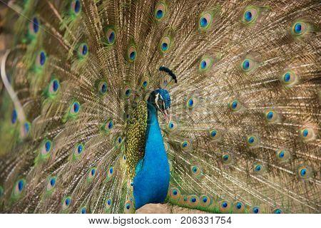 Photos of peacocks showing beautiful feathers, animal wildlife