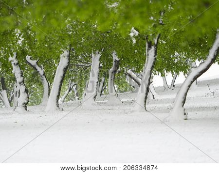 trees with green leaves under snow, late snowfall in april, Dobrogea, Romania